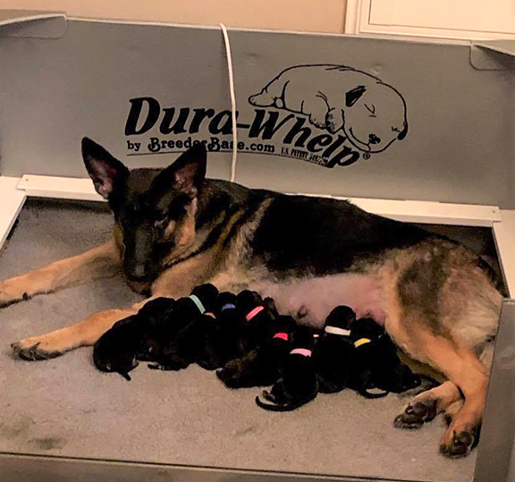 Available Puppies, German Shepherd Puppies in Arizona